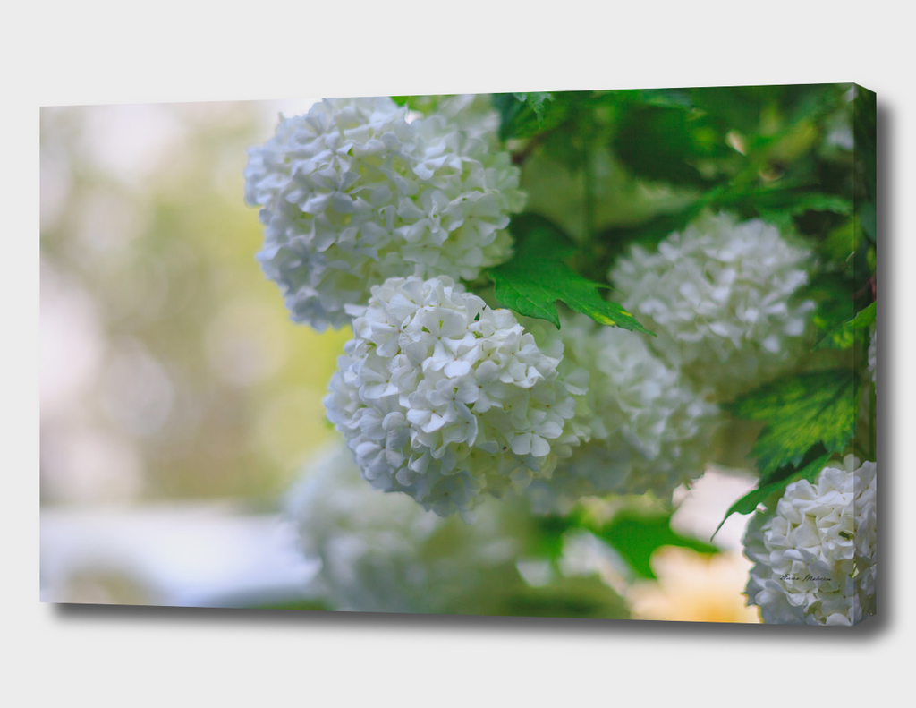 White Viburnum Flowers Branch Close Up Spring