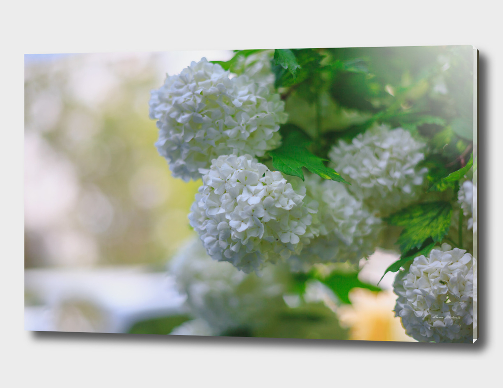 White Viburnum Flowers Branch Close Up Spring