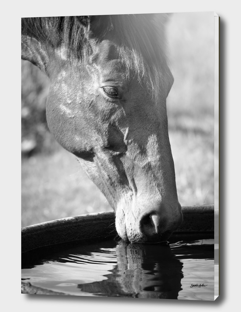Horse Drinking