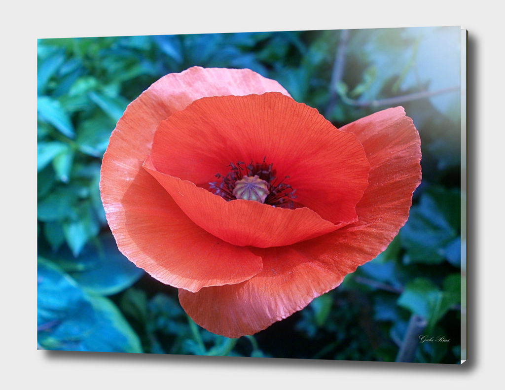 Tuscan-red-poppy