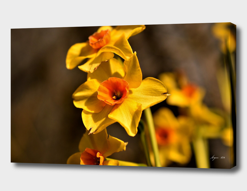 Narcissus Red Devon 03