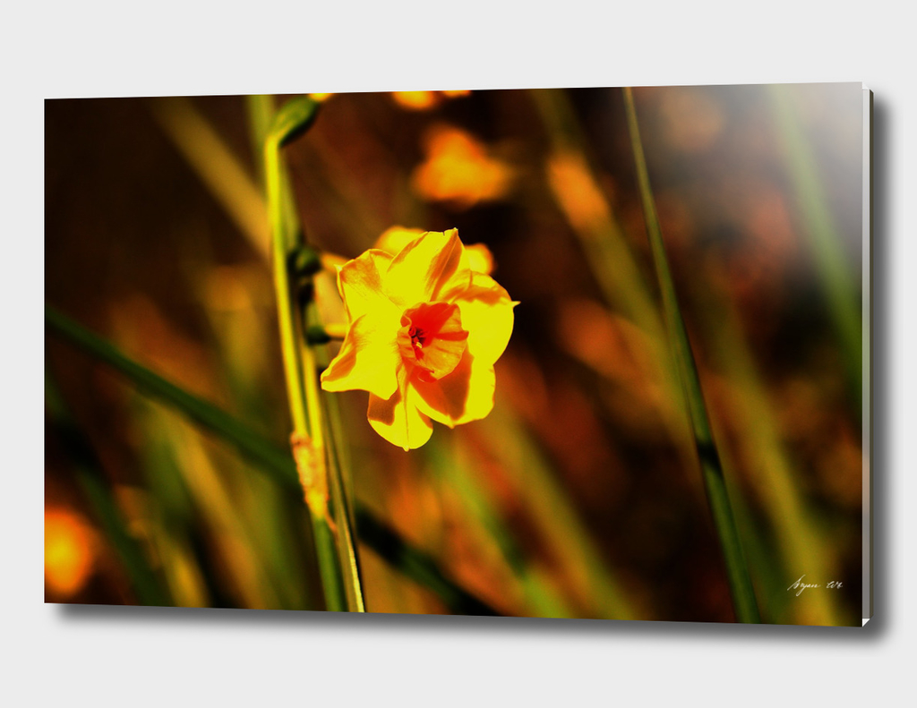 Narcissus Red Devon 01