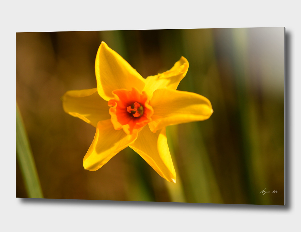 Narcissus Red Devon 02