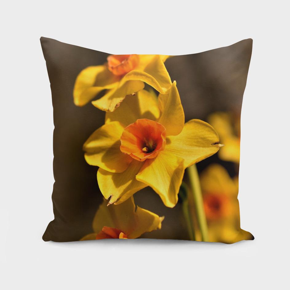 Narcissus Red Devon 03