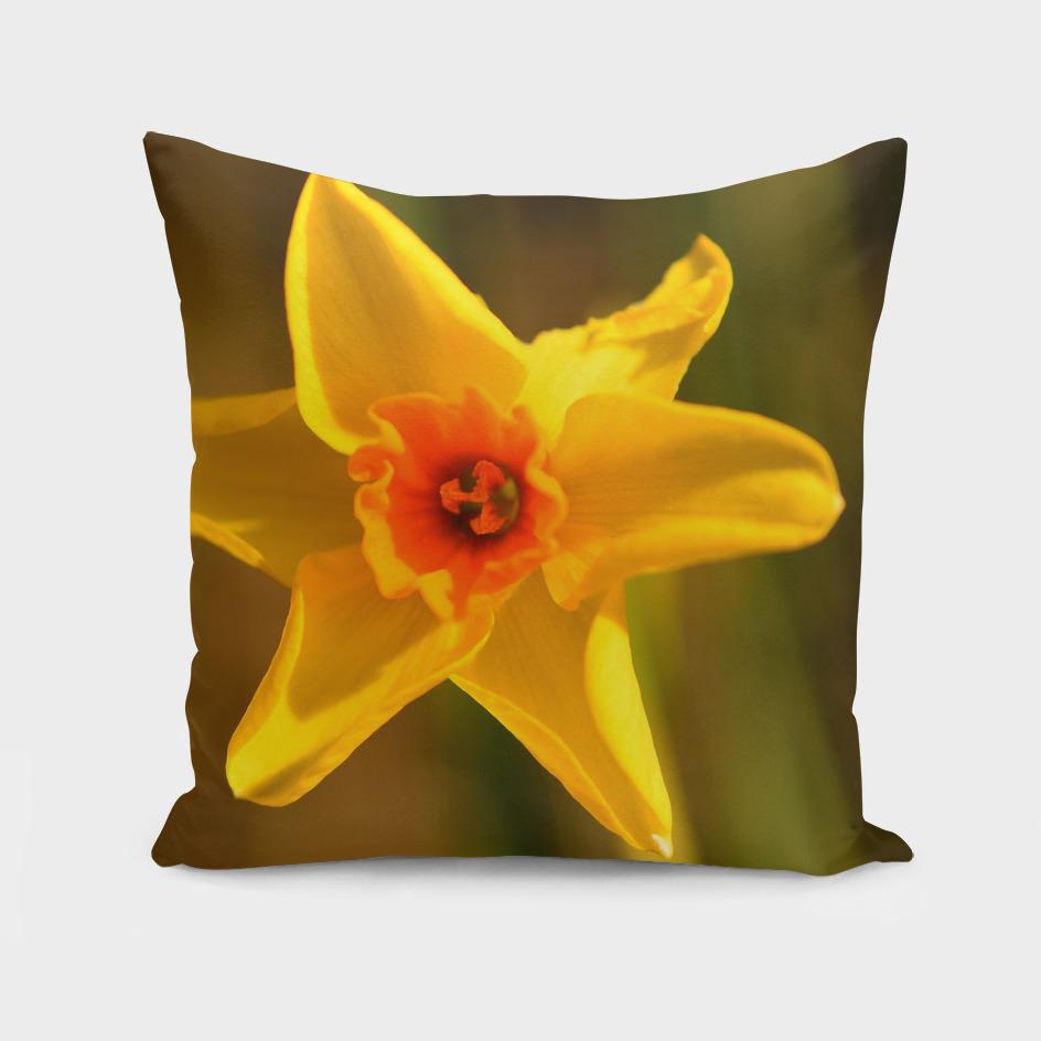 Narcissus Red Devon 02