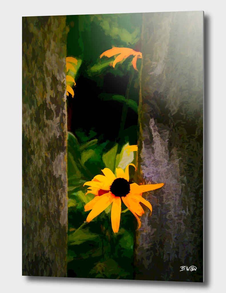 Black-eyed Susan at Fence