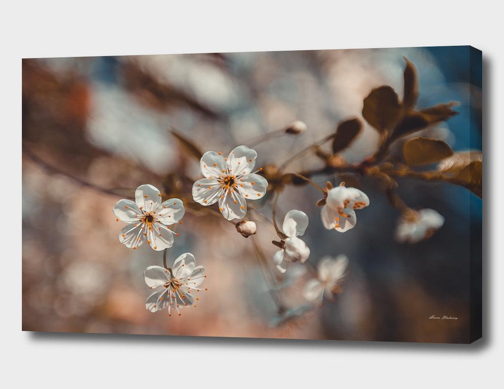 Spring Cherry Sakura White Flowers, Toning