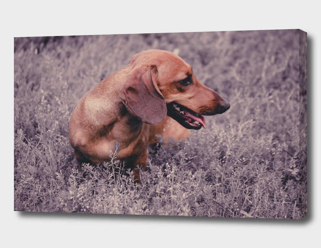 Photo Dog Dachshund Closeup on Nature UV Color