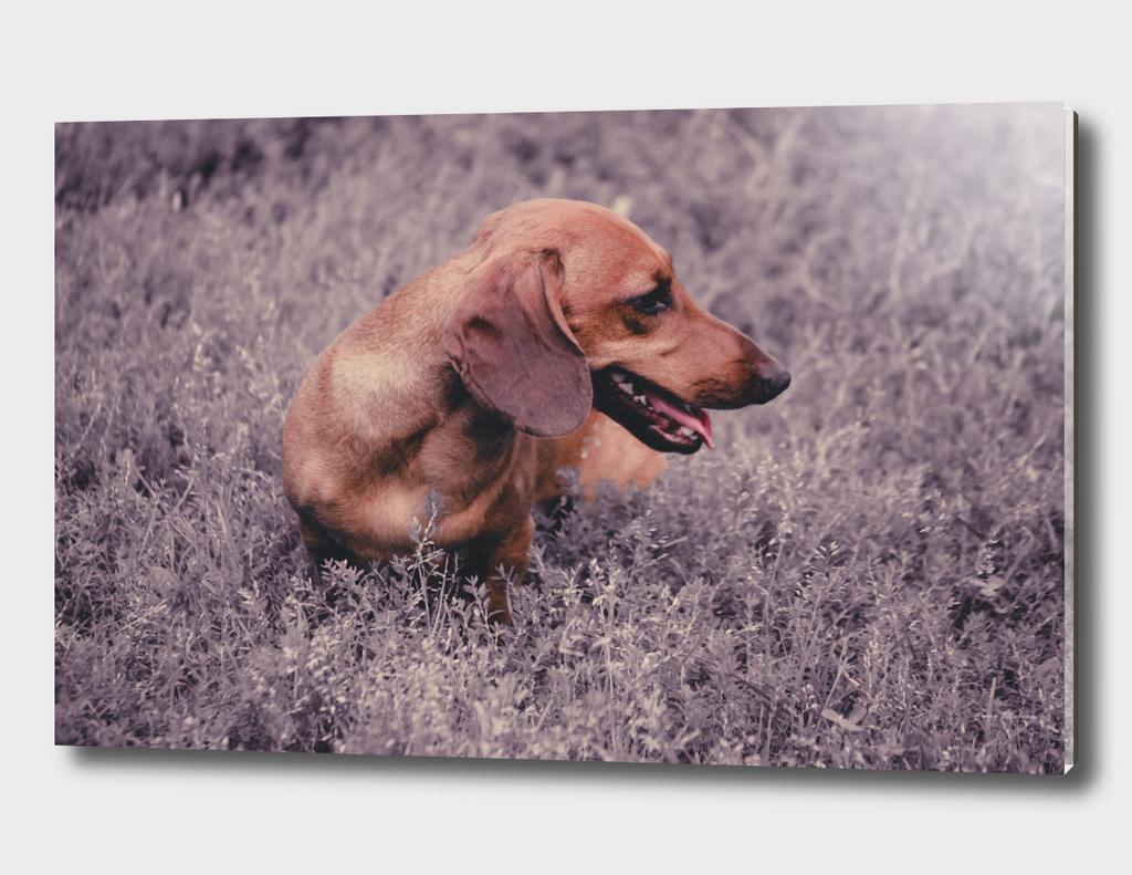 Photo Dog Dachshund Closeup on Nature UV Color