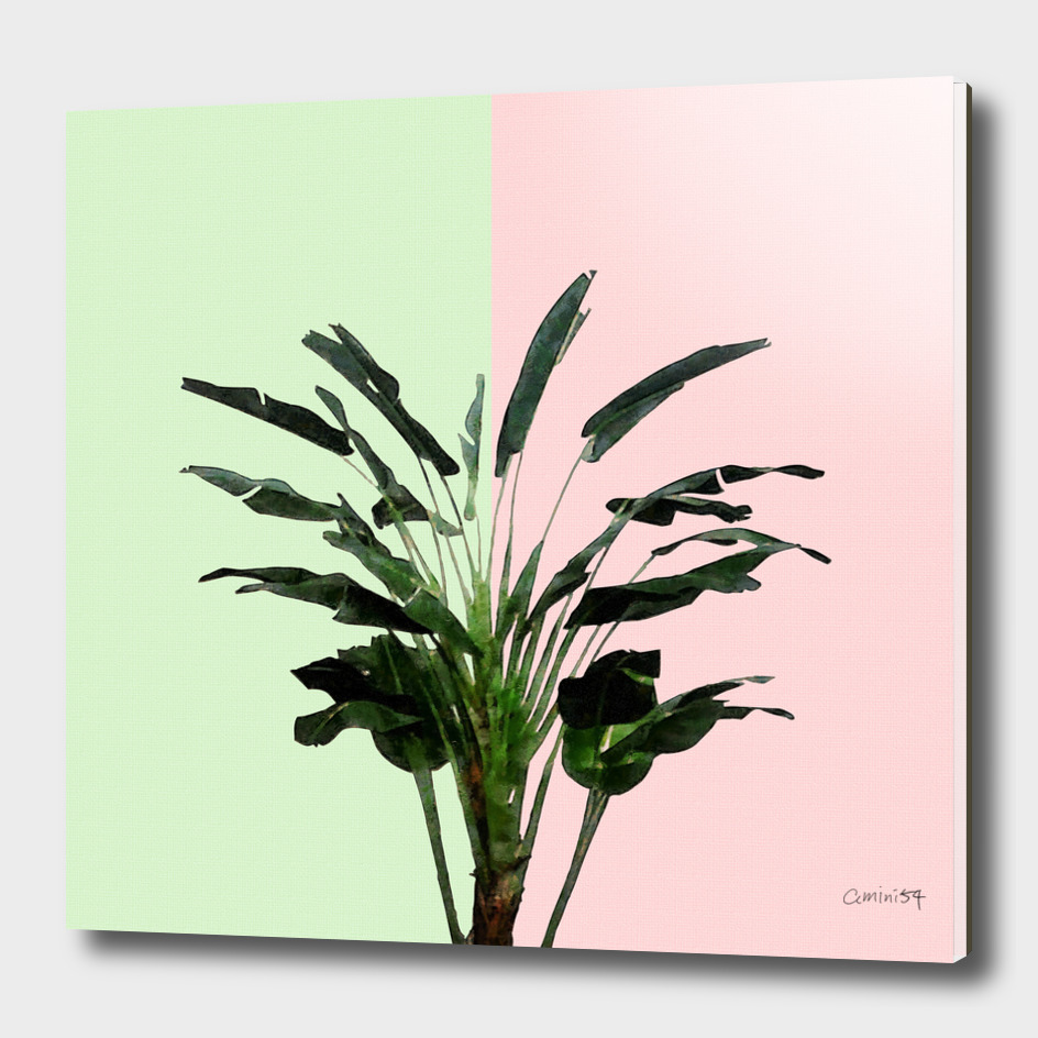 Banana Plant on Pink and Green Wall