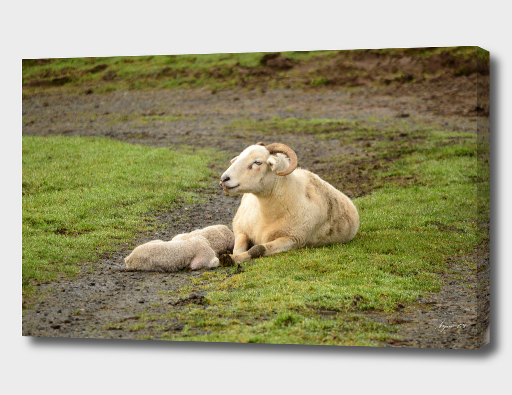 Wiltshire Horn Sheep  01