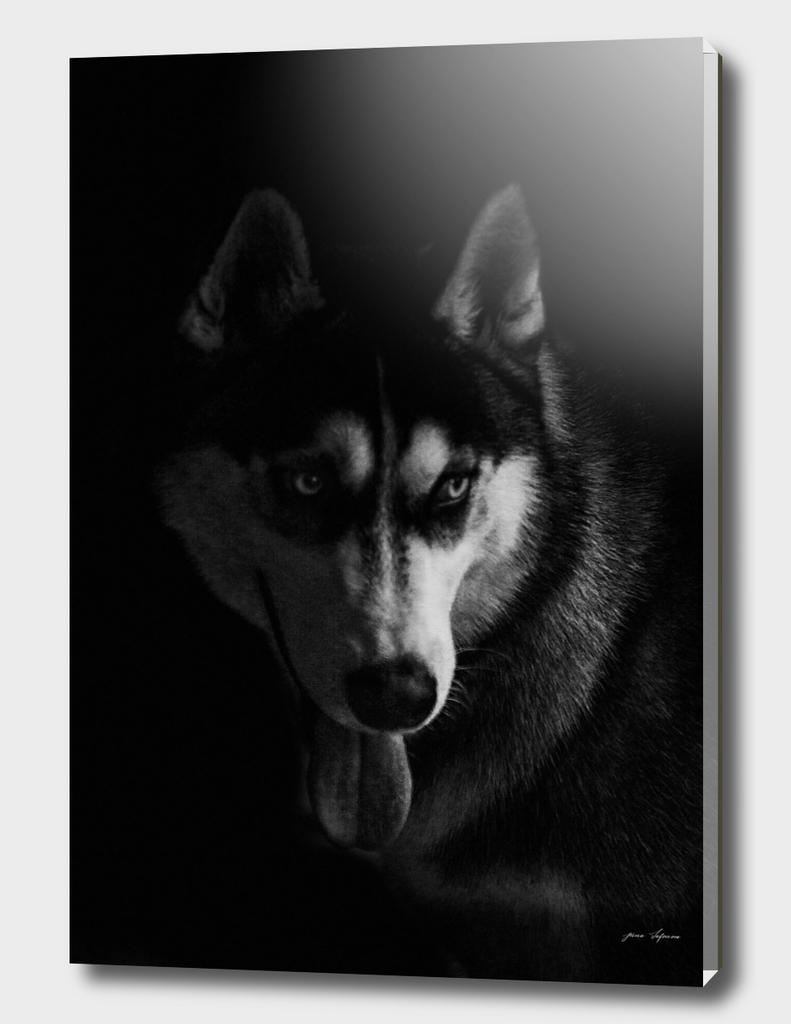 Husky portrait on black background