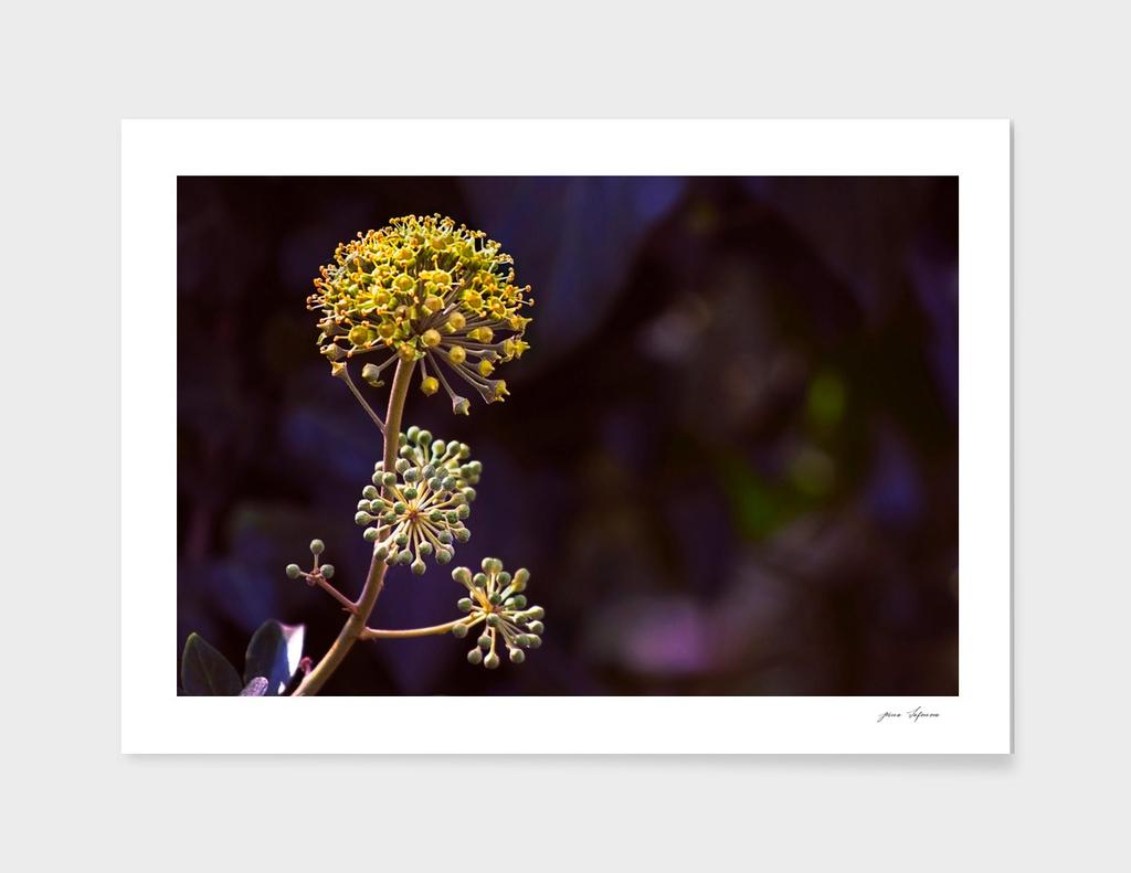 Blossoming Ivy - Rare Phenomenon