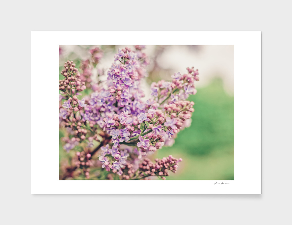 Spring Branch Of Lilac Close-Up Of Pastel