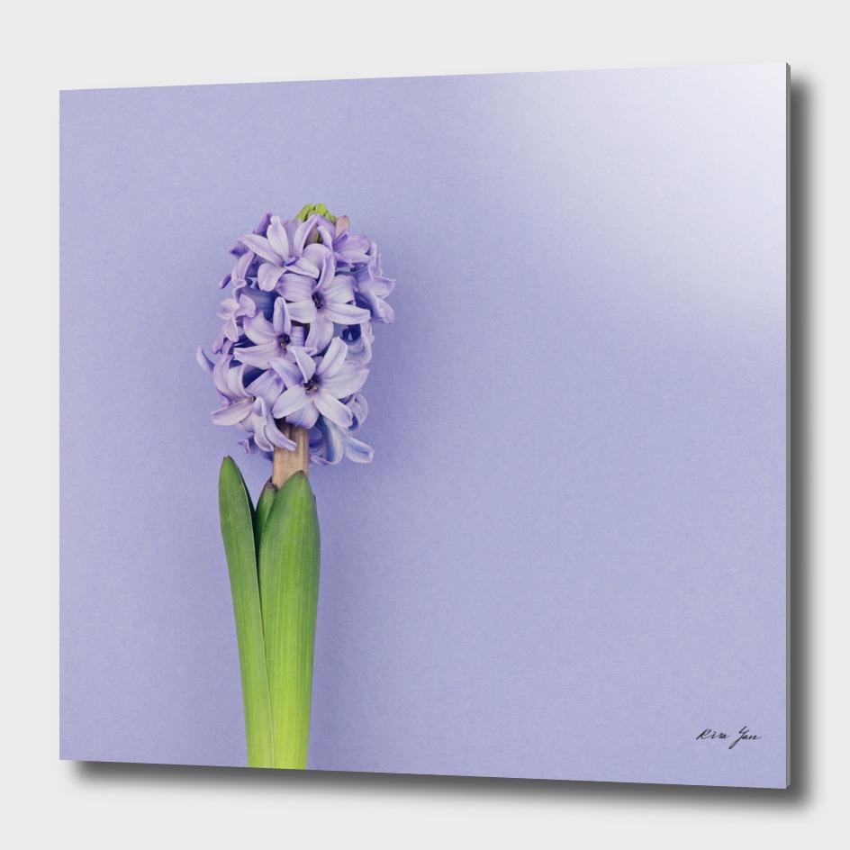 Blue hyacinth on purple