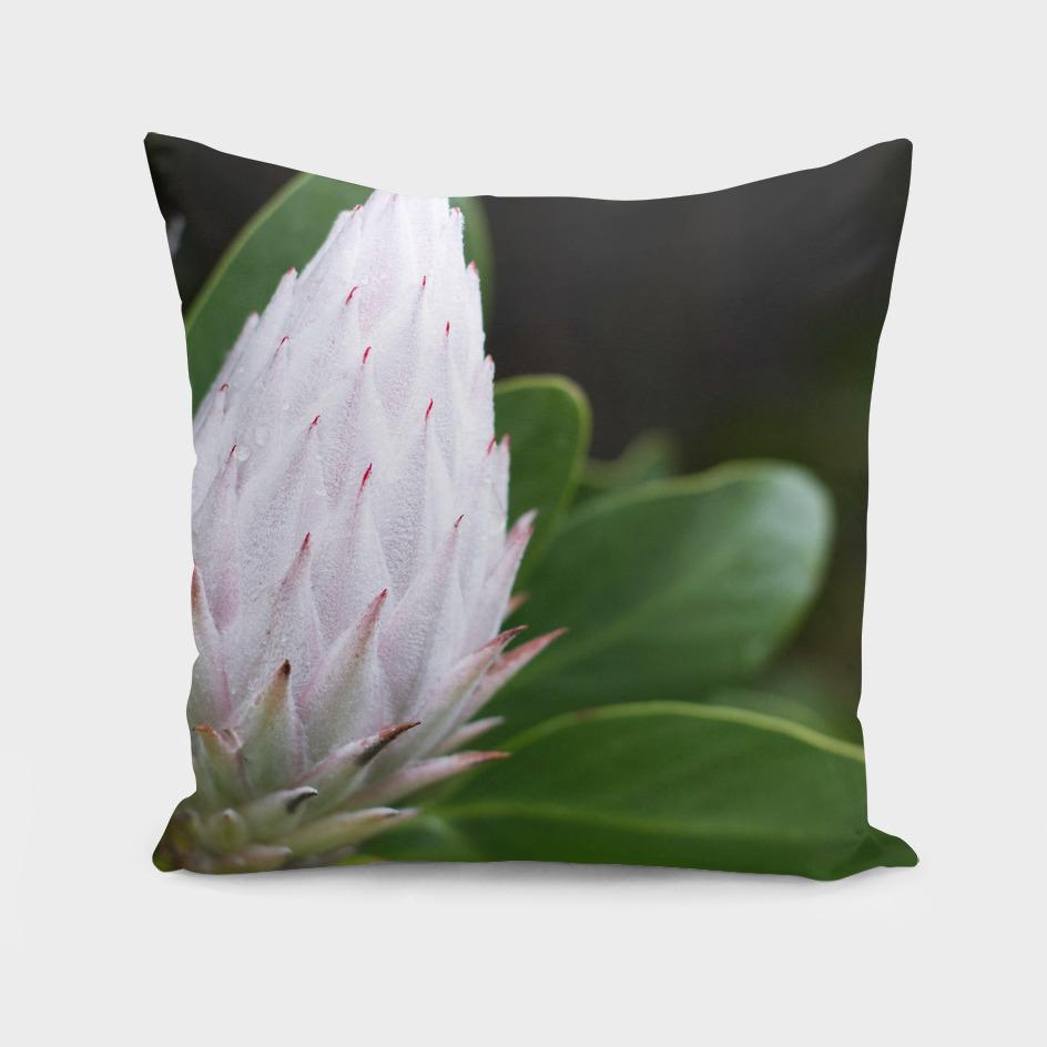 Flower Protea Bud