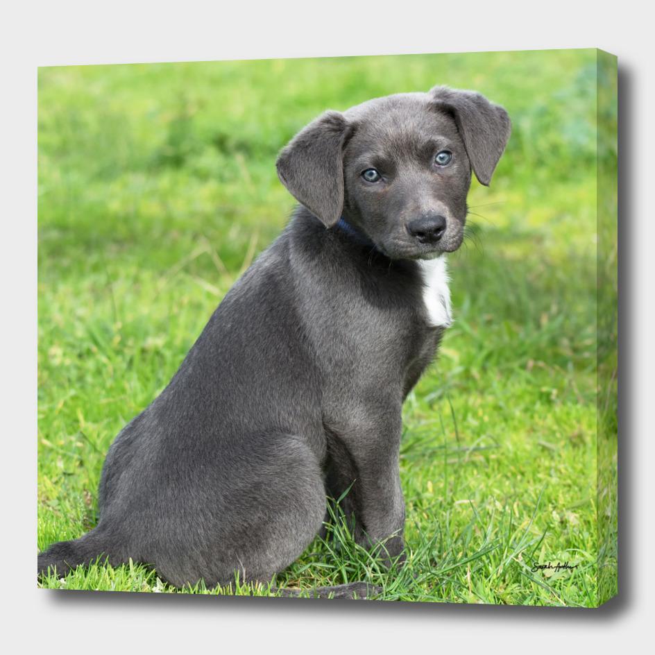 Adorable Grey Puppy