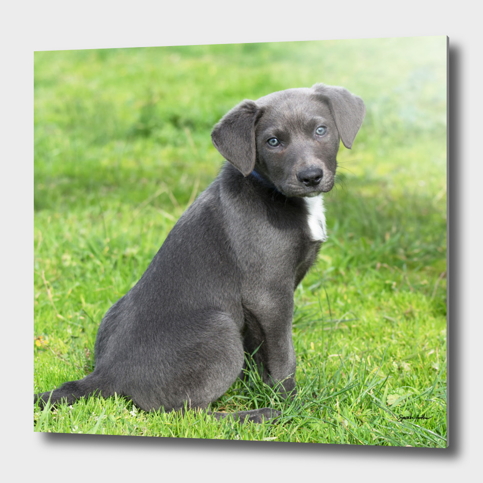 Adorable Grey Puppy