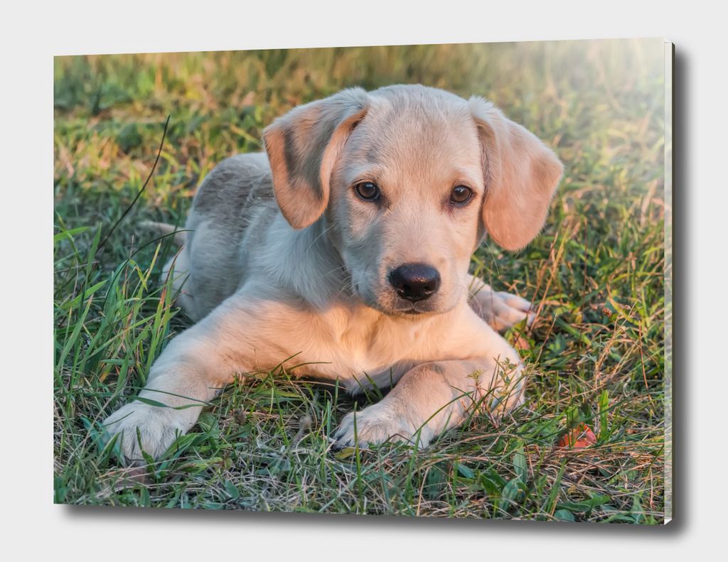 Labrador puppy on a grass