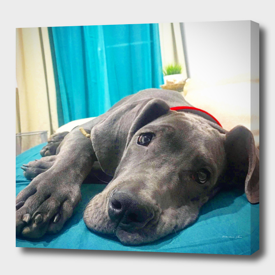 Baksy the blue great dane