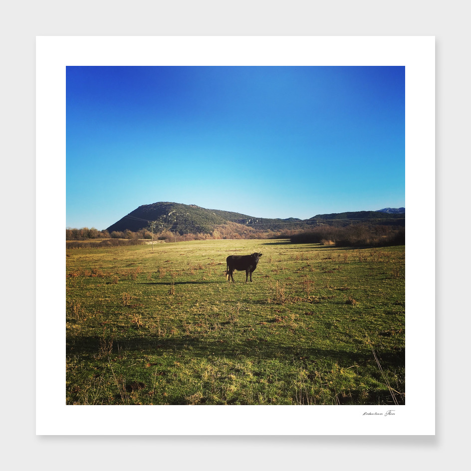 a cow in the field