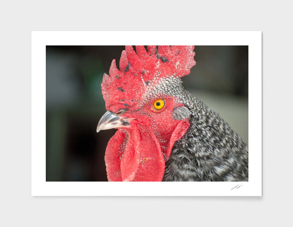 Rooster Named Brute