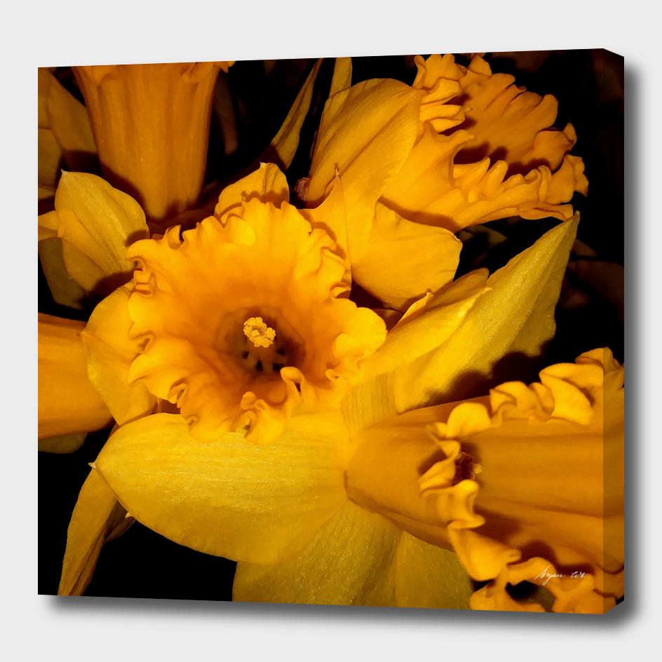 Daffodils LG01