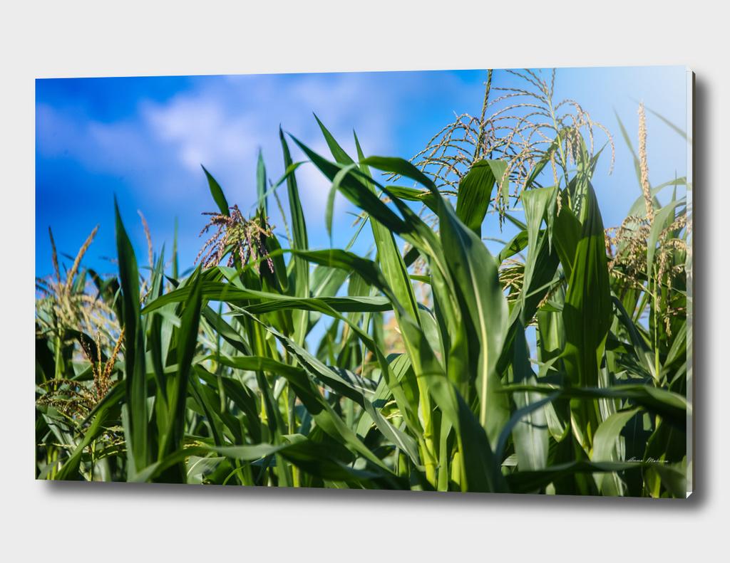 Corn Field Blue Sky Close-up