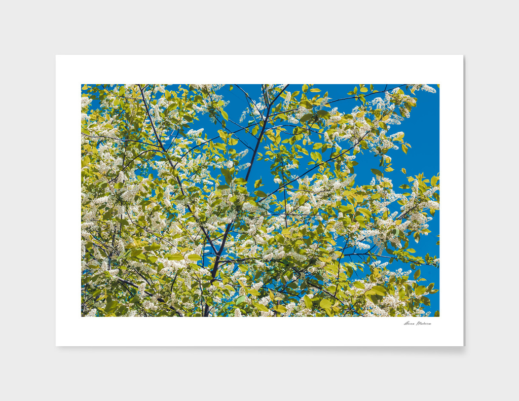 Flowering branches of a blossoming cherry against a blue sky