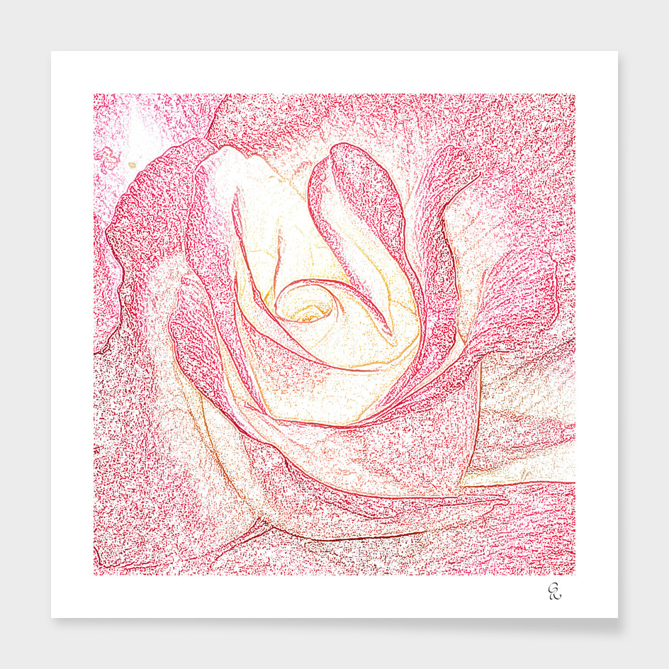 Summer Rose Pencil on White