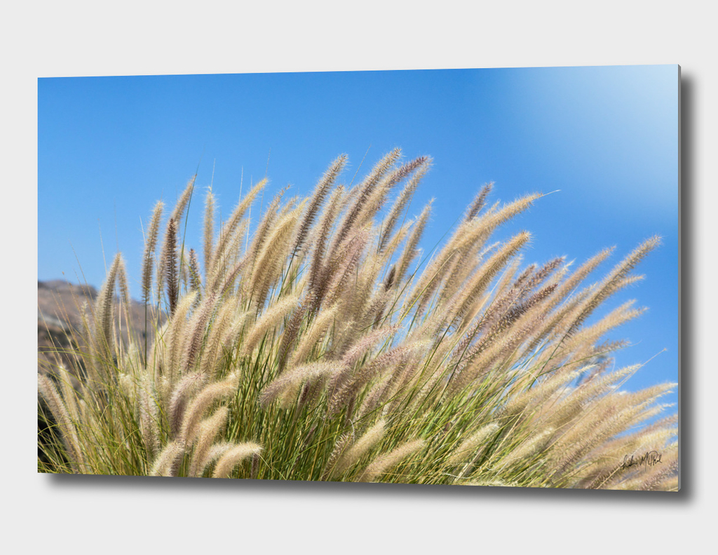 Foxtails on a Hill