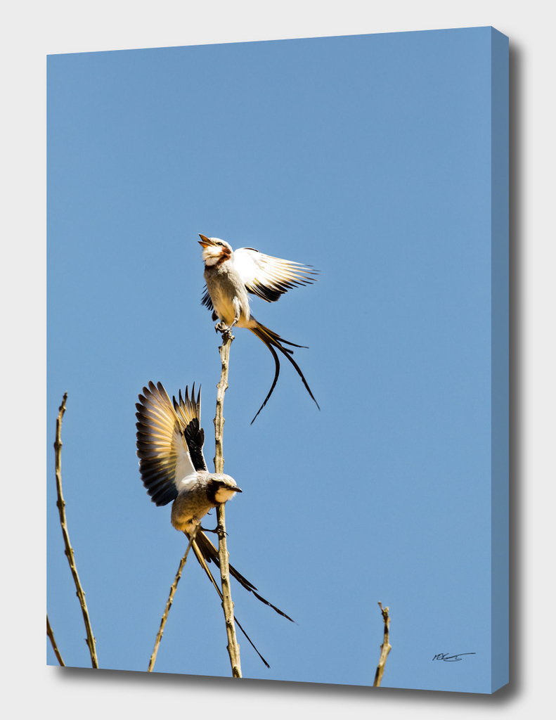 Streamer-tailed Tyrant - Gubernetes yetapa