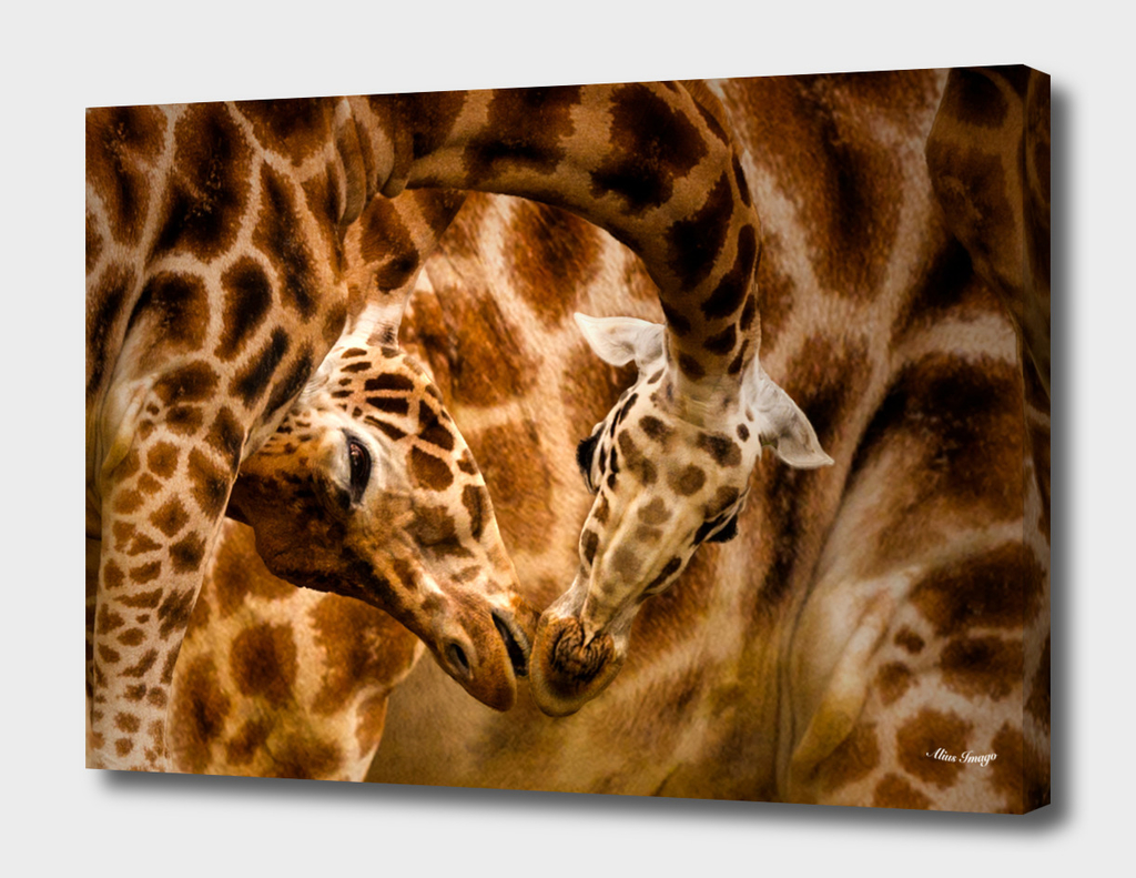 Northern Giraffe