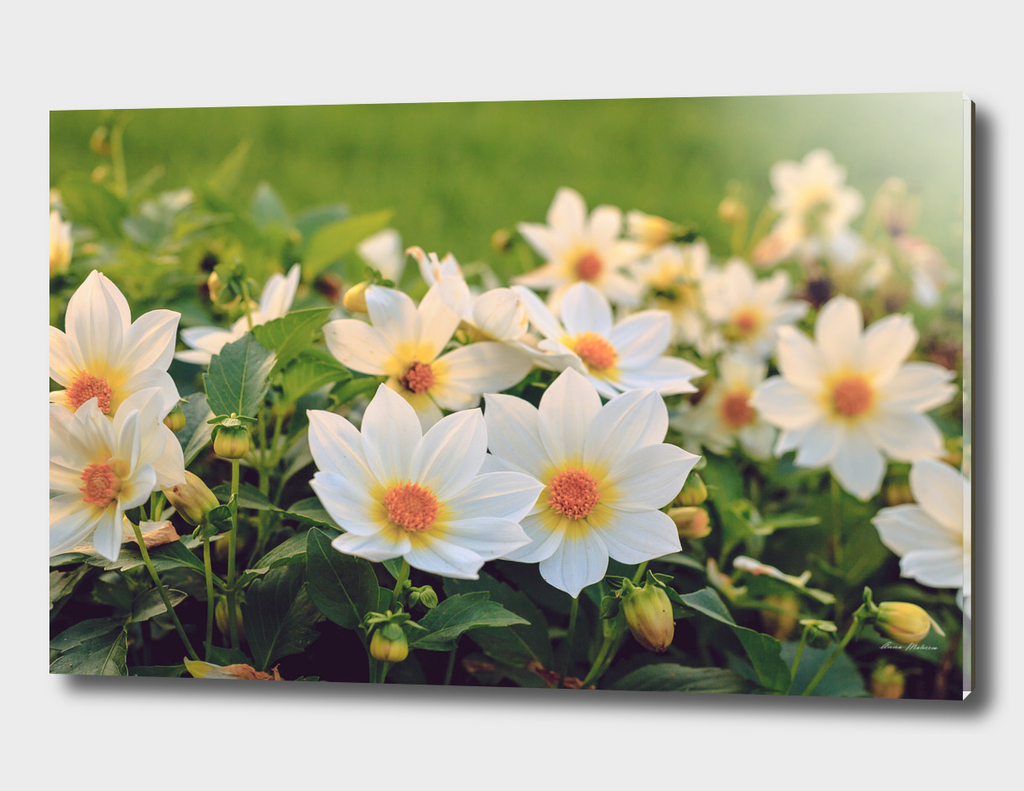 Dahlia White Flowers Outdoors Flowerbed Solar Rays