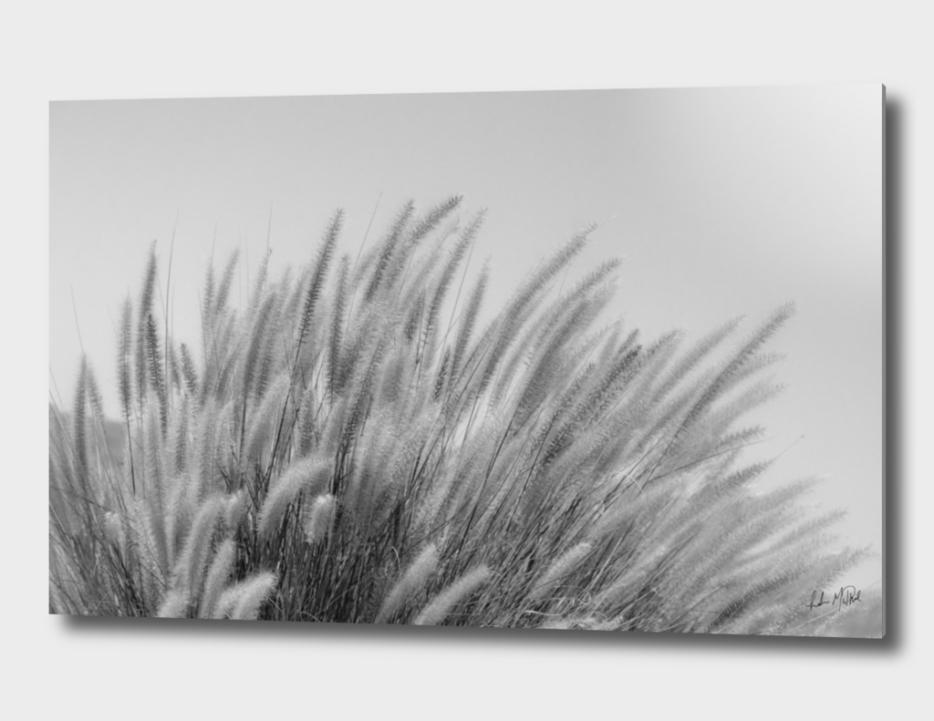 Foxtails on a Hill in Black and White