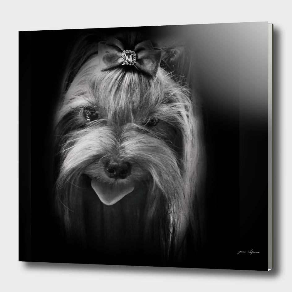 graceful creation portrait  Yorkshire terrier close-up