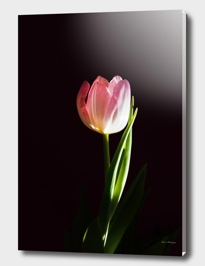 Macro fresh pink tulip flower
