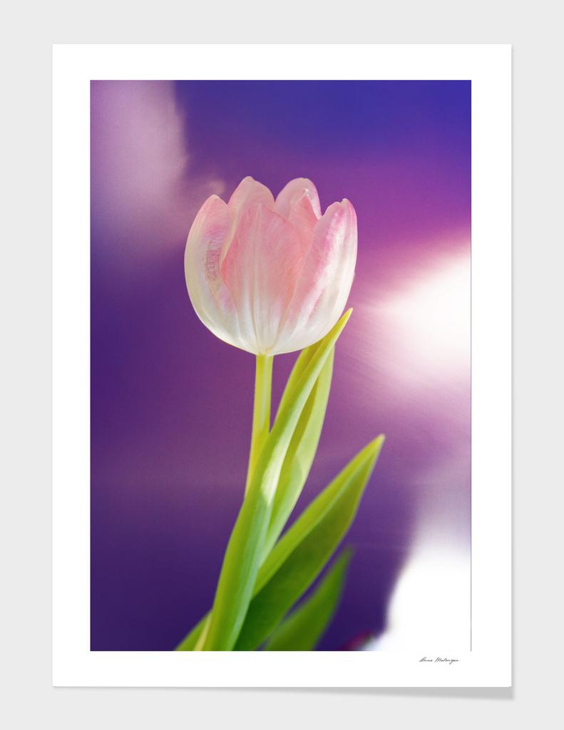 Pink tulip flower over ultra violet background