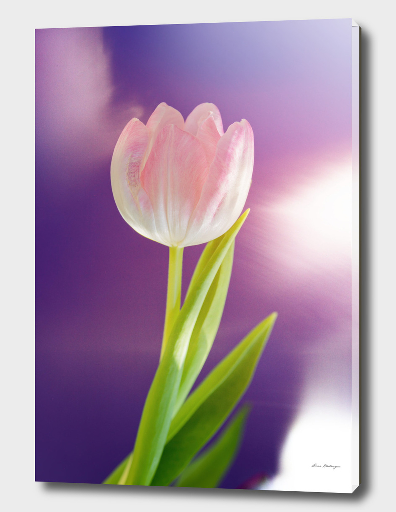 Pink tulip flower over ultra violet background