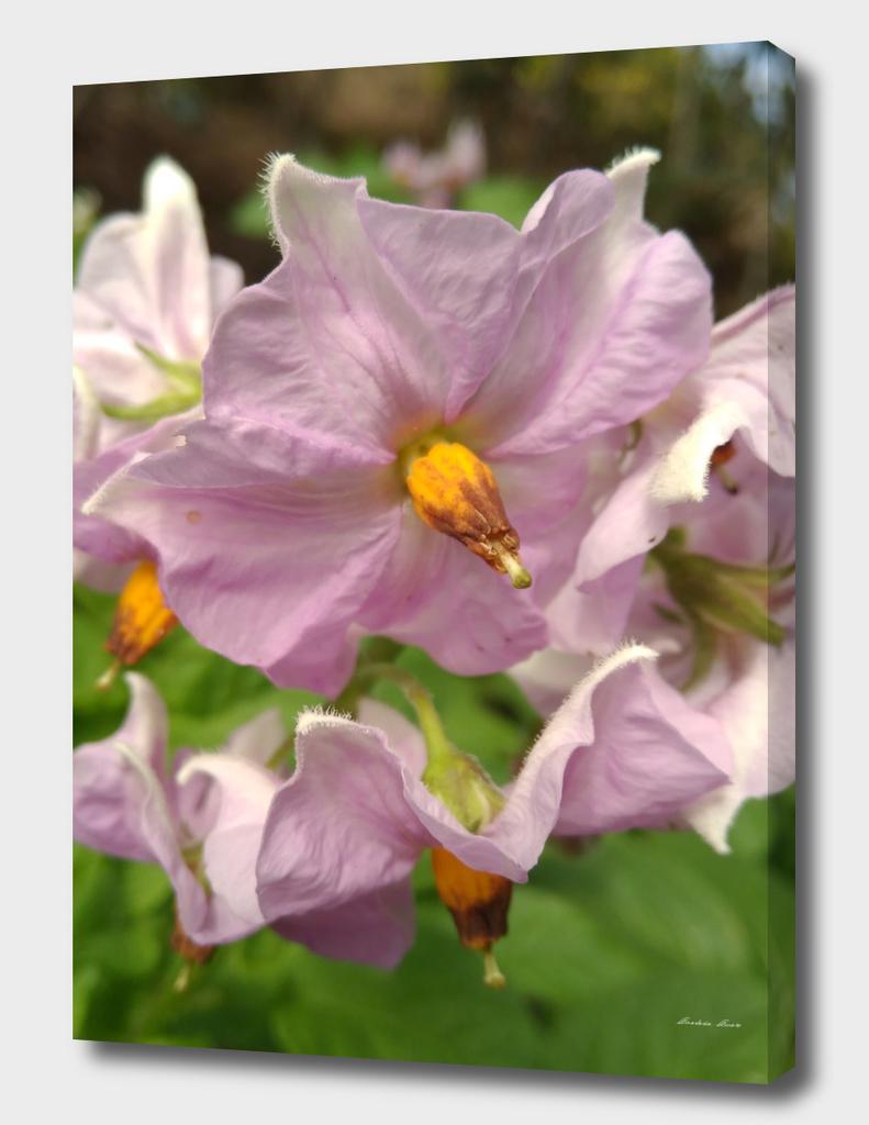 flowers of potatoes