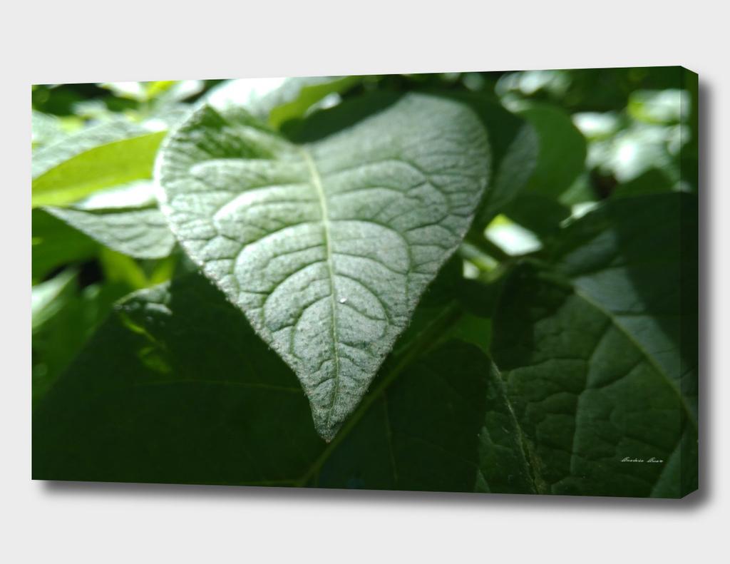 leaves of potatoes