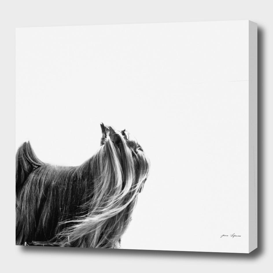 graceful creation portrait  Yorkshire terrier