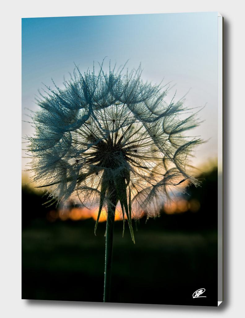 Dandelion close up shot on the dusk behind