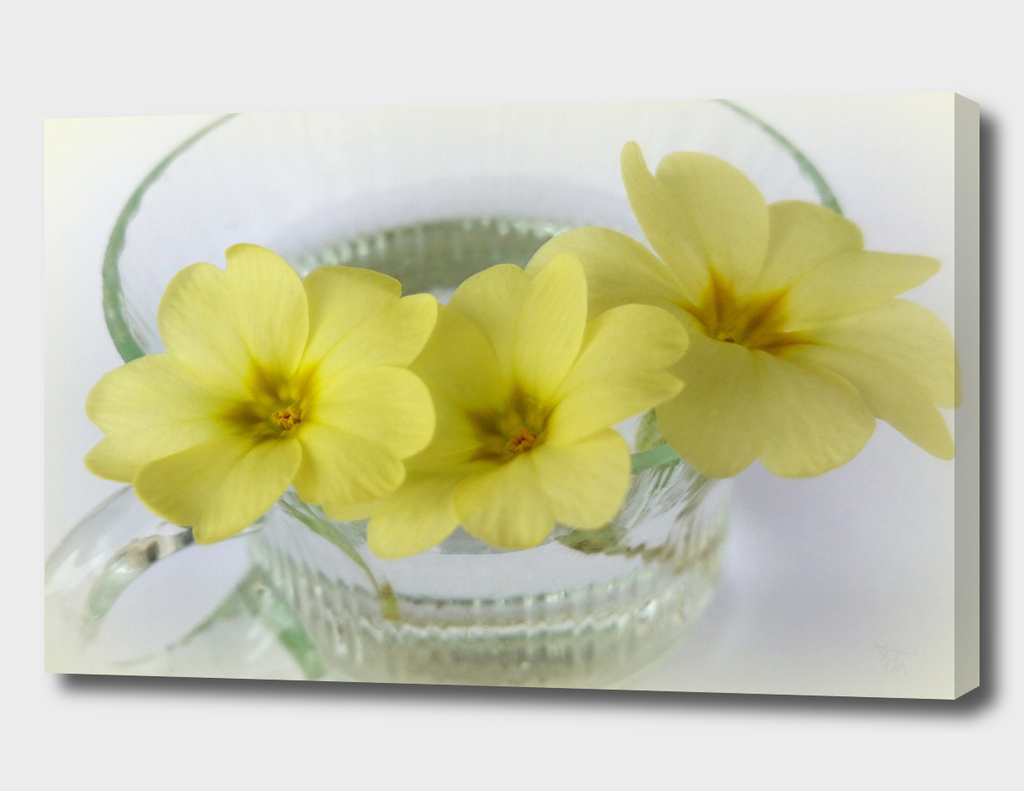 primrose in a coffee cup