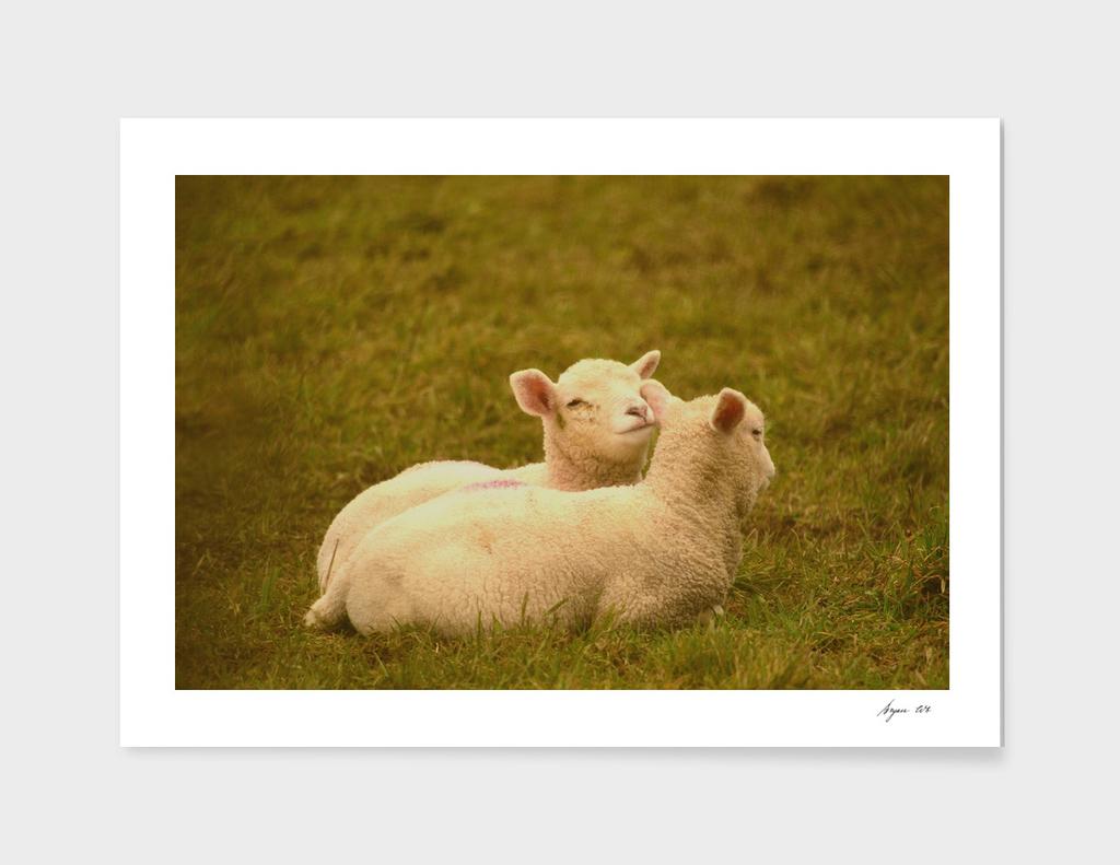 Lamb pair 01