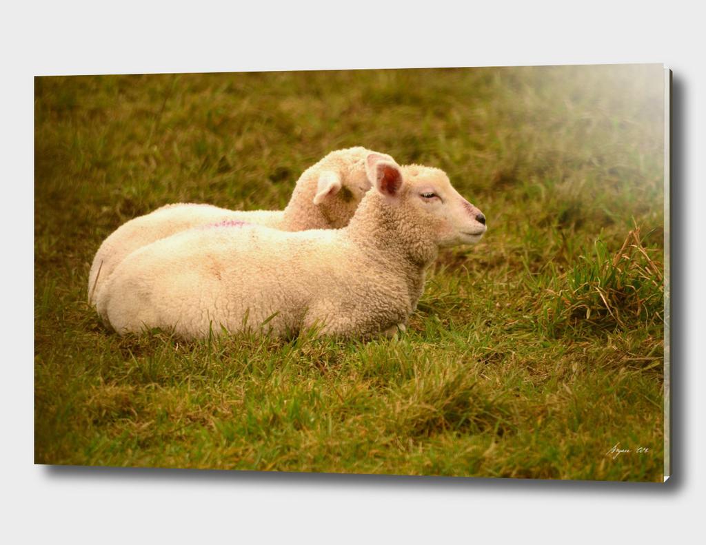 Lamb pair 02