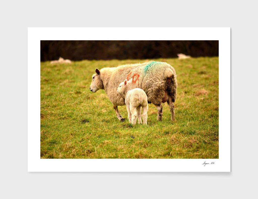 Sheep Lamb 01