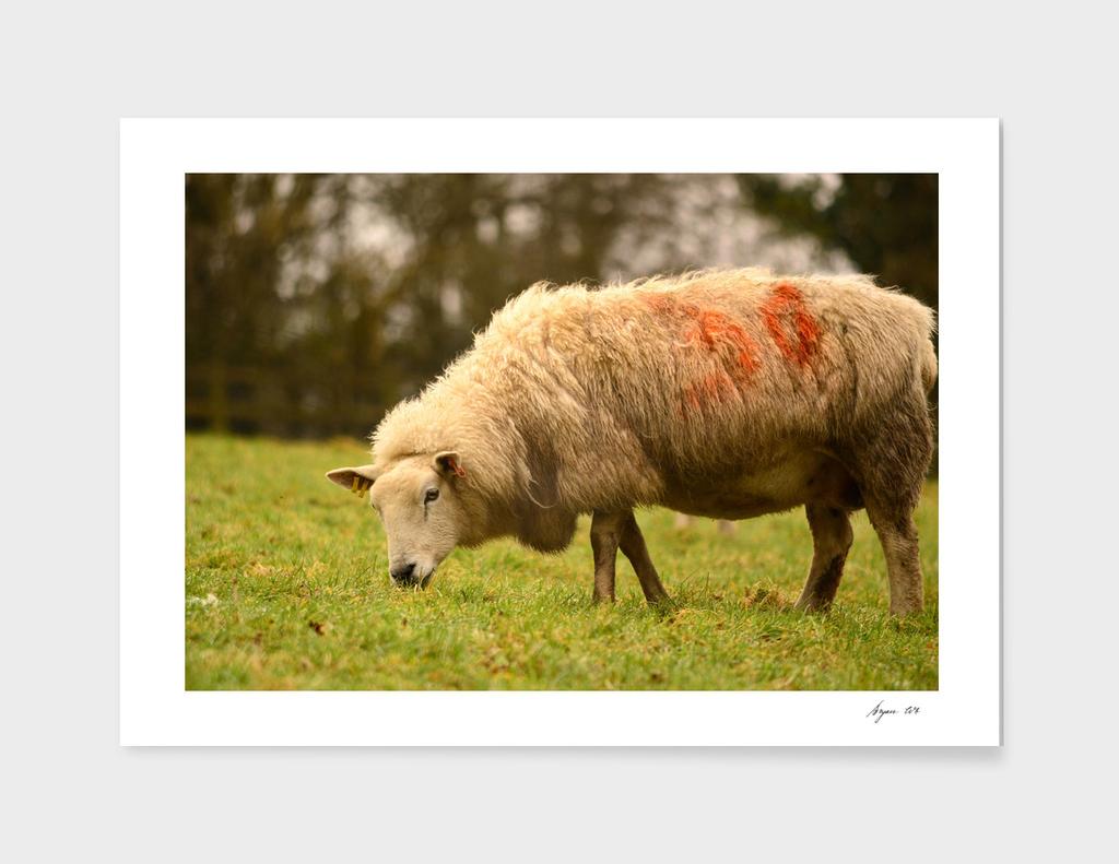 Sheep Red