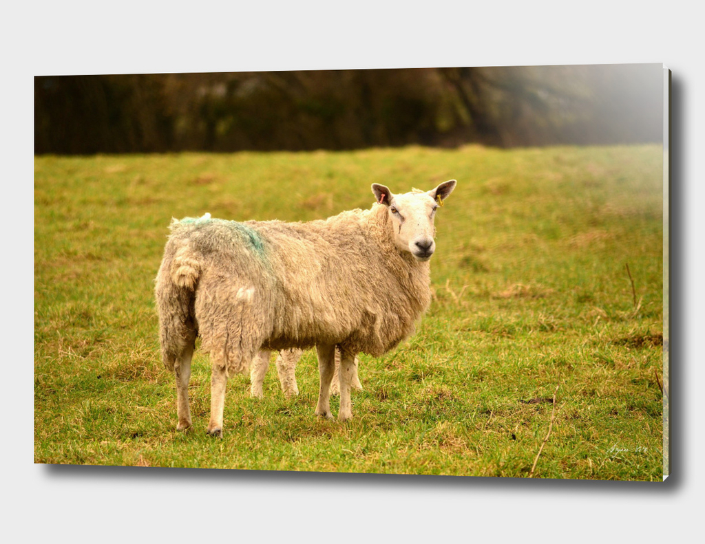 Sheep single 01