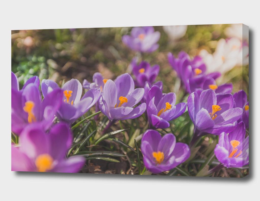Flowers Crocuses Violet Close-up Spring Sunny Day
